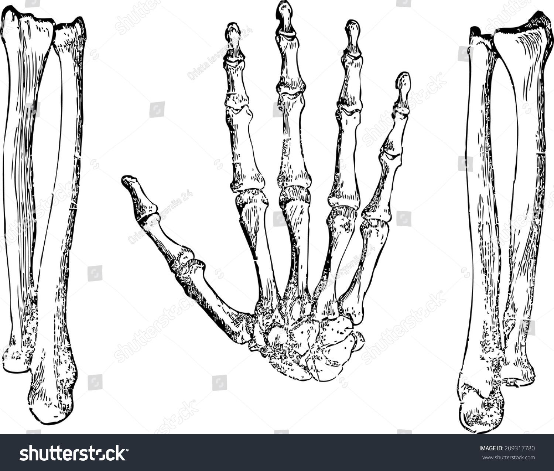 Bones Hands Hand Structure Hands Arms Stock Vector Royalty Free