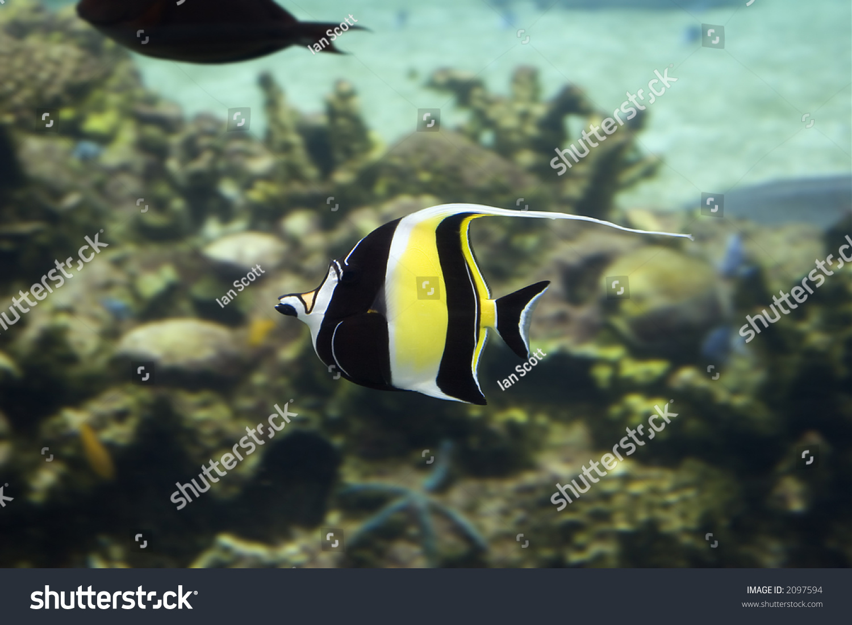 Moorish idol zanclus cornutus the type of fish known as for What kind of fish is nemo