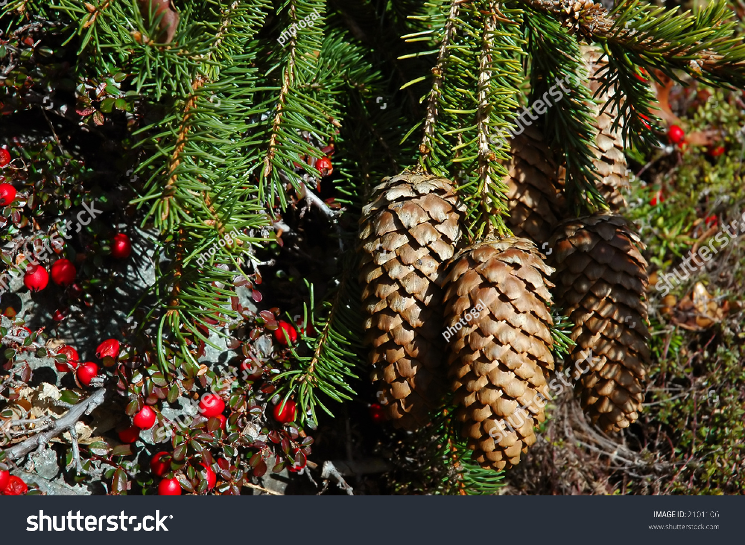 Long pine cones and red berries stock photo 2101106 for Long pine cones
