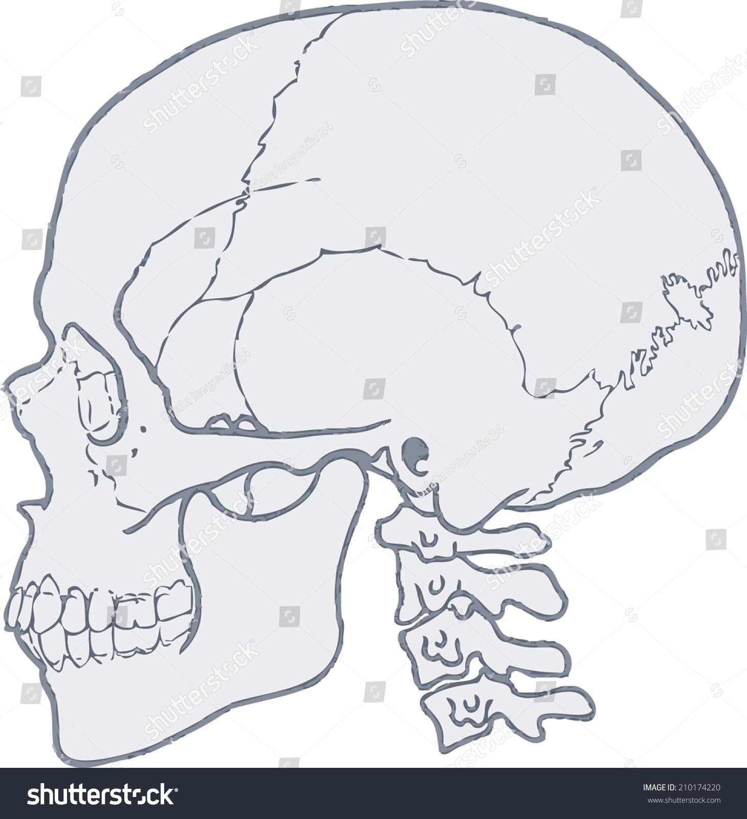 Skull Human Skull Vector Skull Structure Stock Vector Royalty Free