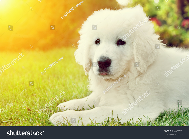 Cute White Puppy Dog Lying Stock Shutterstock