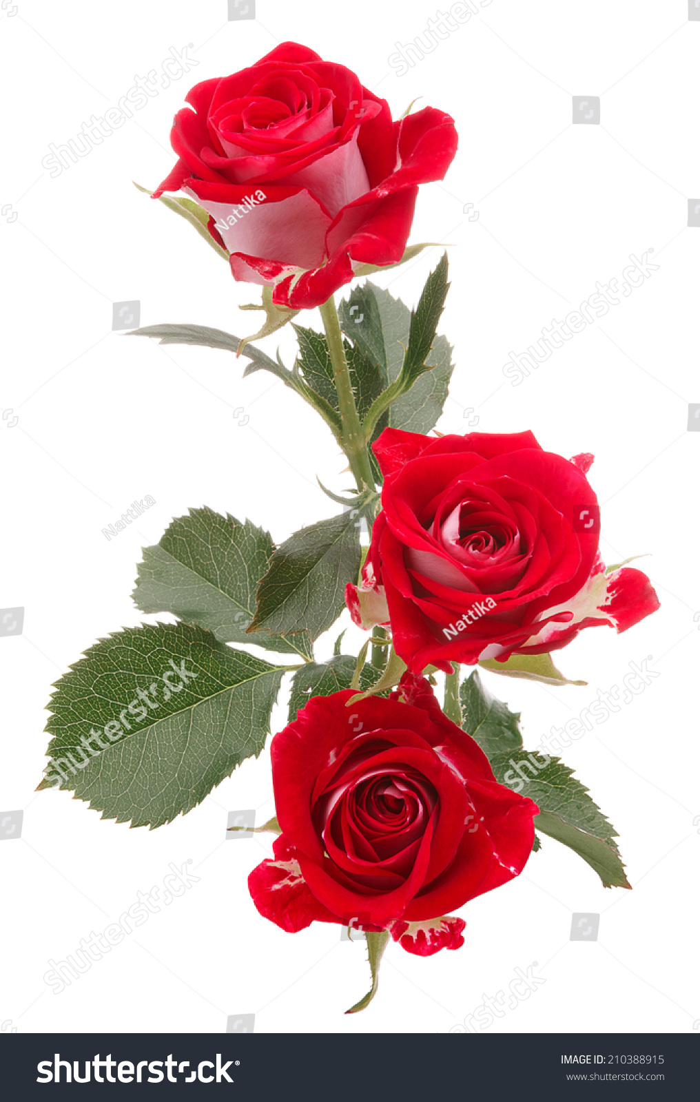 Red Rose Flower Bouquet Isolated On Stock Photo Edit Now 210388915