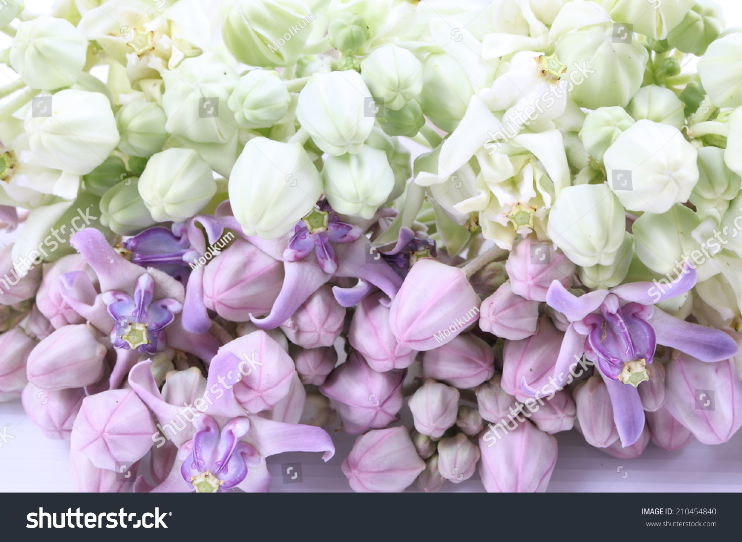 Colorful White Purple Flower Crown Flower Stock Photo Edit Now