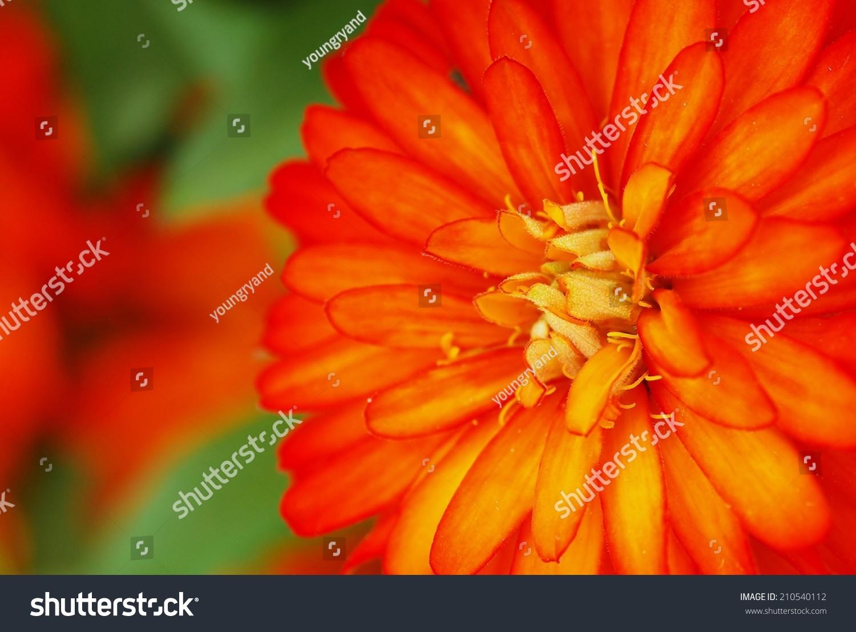 Soft Orange Flower Fuzzy Yellow Center Stock Photo Edit Now