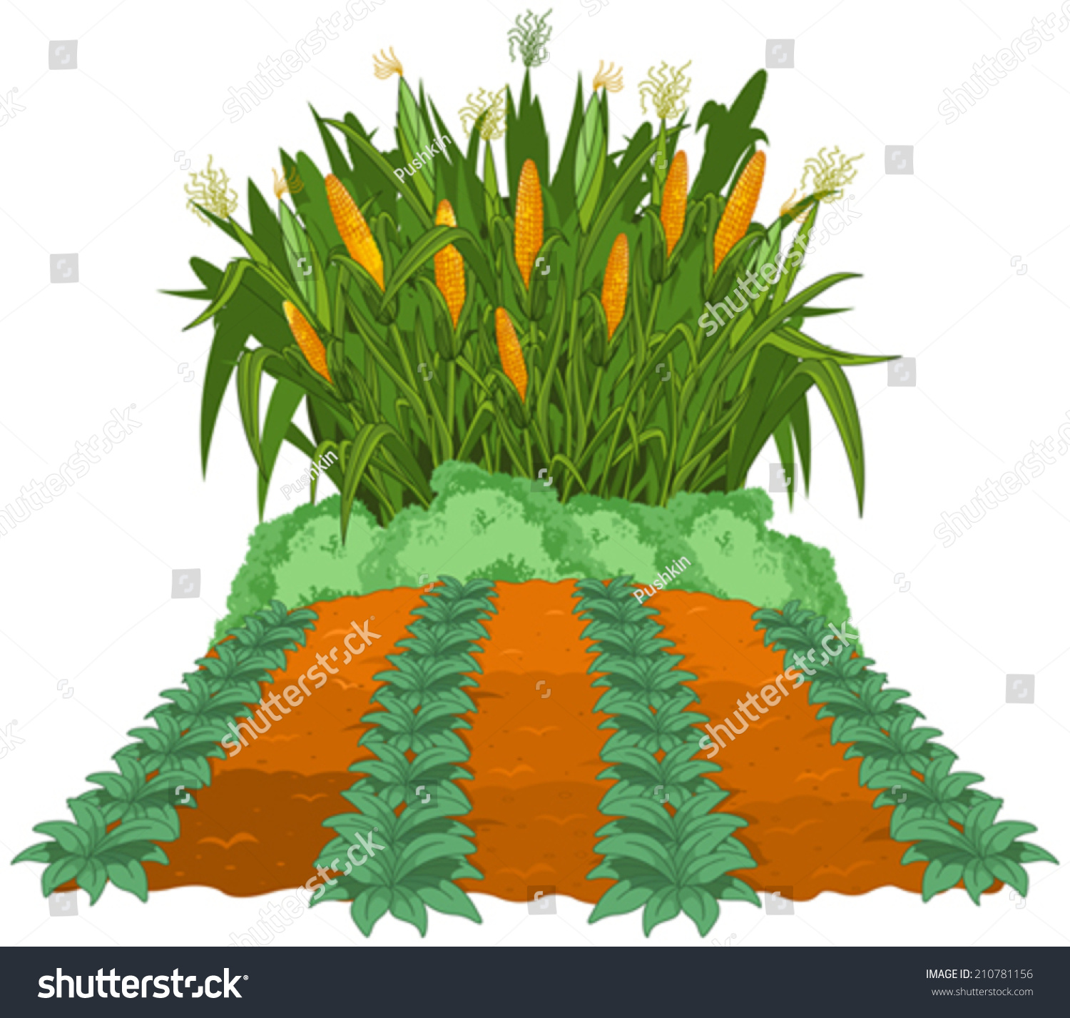 Planting Corn Next Garden Beds Weeded Stock Vector 210781156
