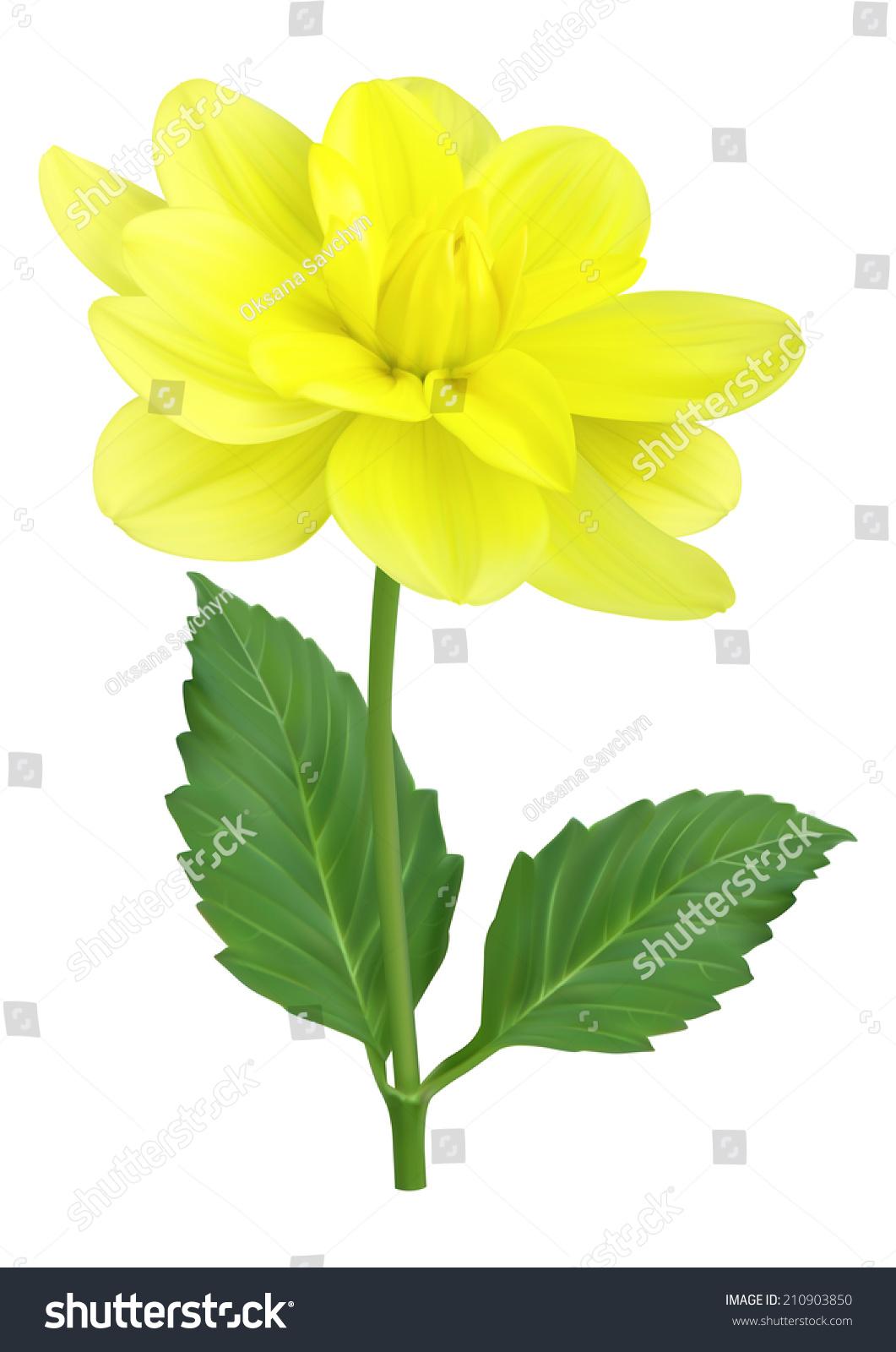 Yellow Dahlia Flower Stock Vector 210903850 Shutterstock