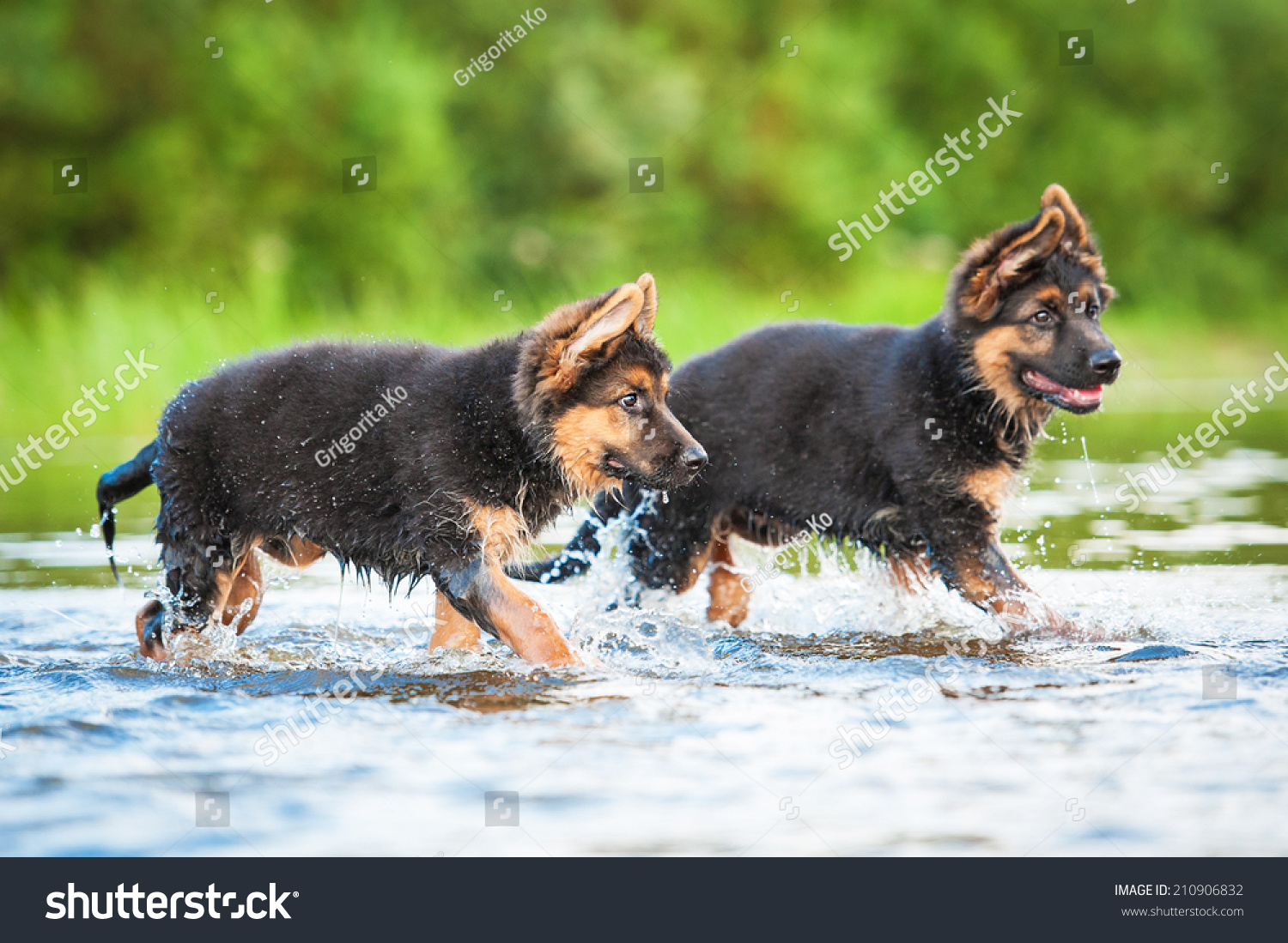 Royalty Free German Shepherd Puppies Running In Water 210906832