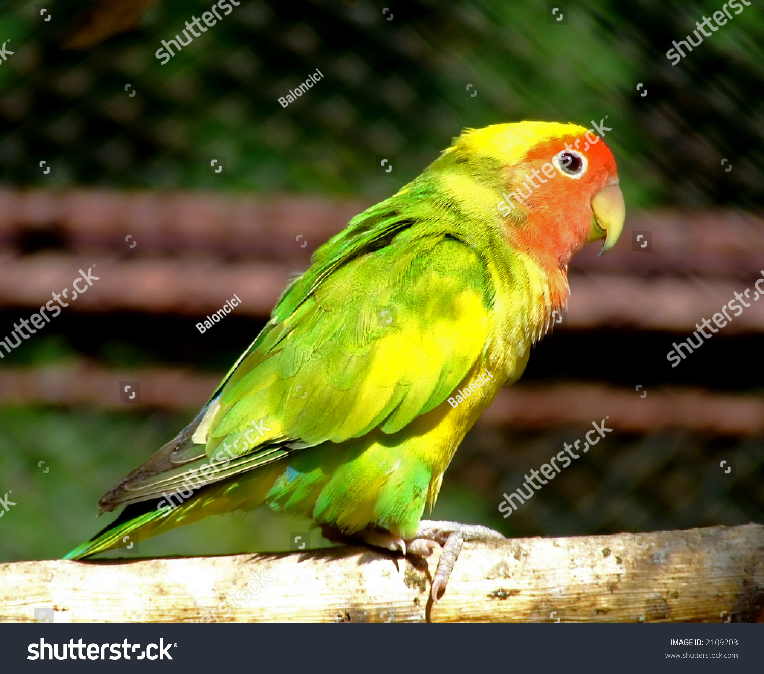 Little parrot in yellow, green and red color   EZ Canvas