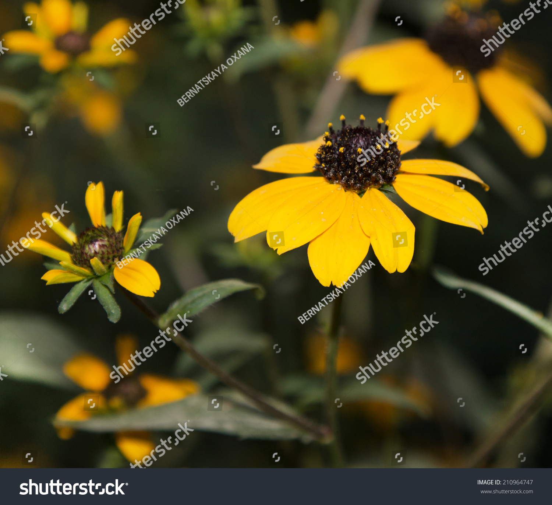 Yellow Flowers Black Center Stock Photo Edit Now 210964747