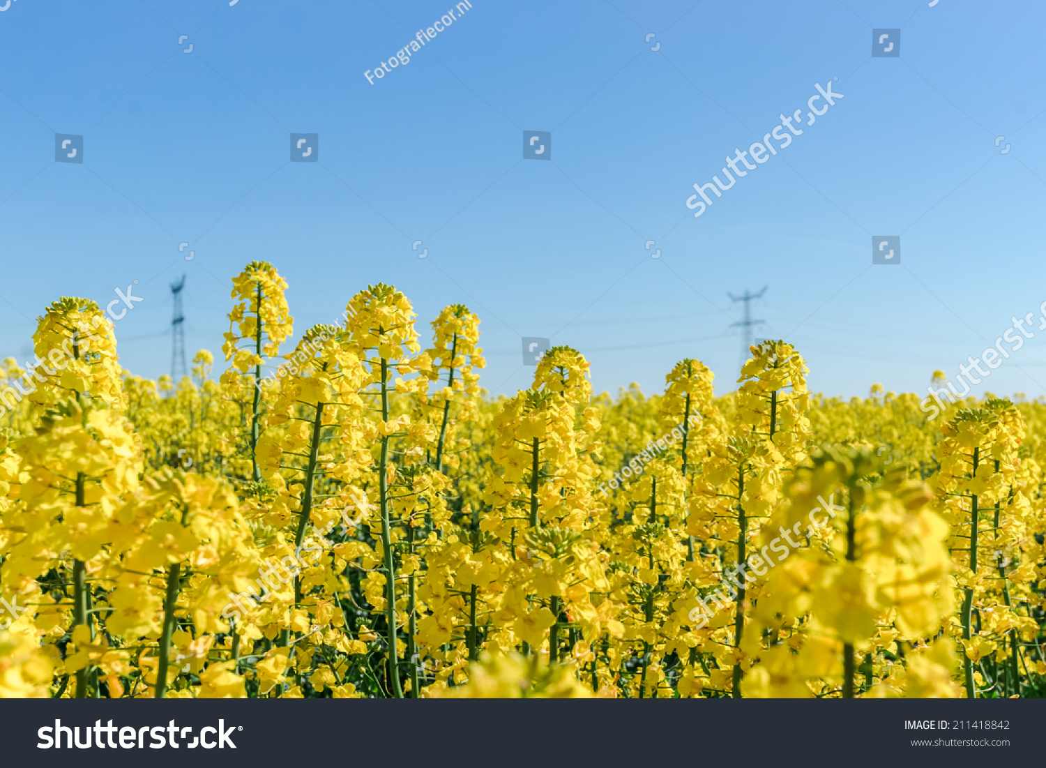 Photo Canola Rapeseed Flower Blooming Crops Stock Photo Royalty