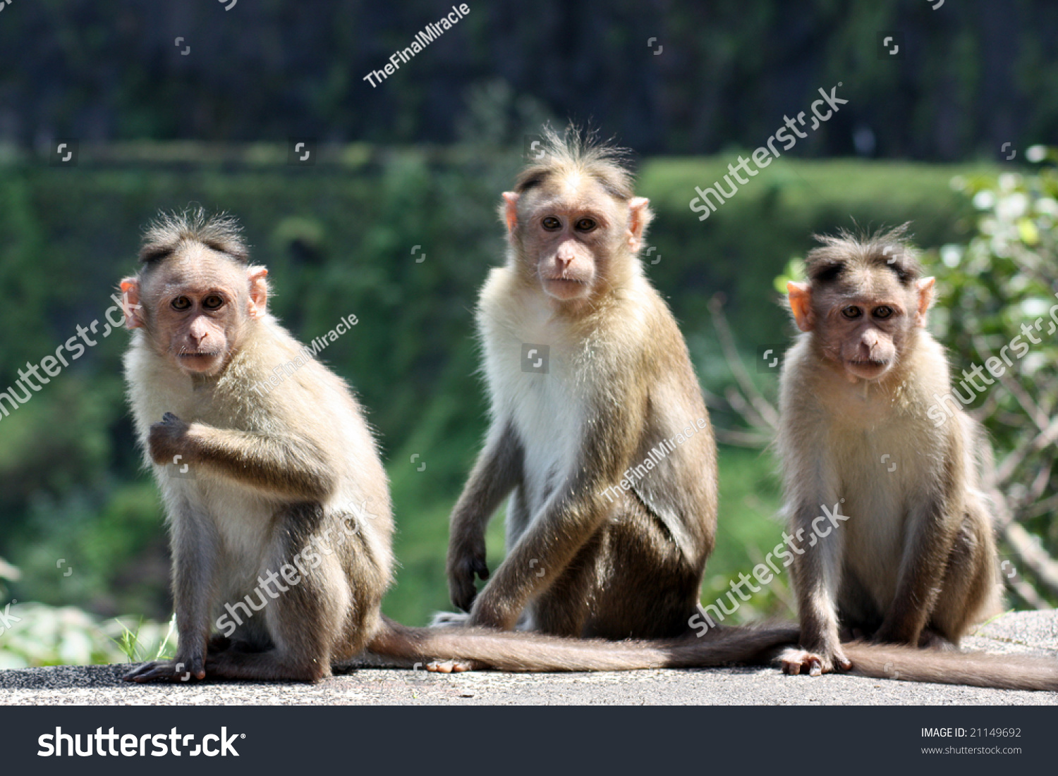 three monkeys images  Group Three Monkeys Sitting On Wall Stock Photo (Download Now ...