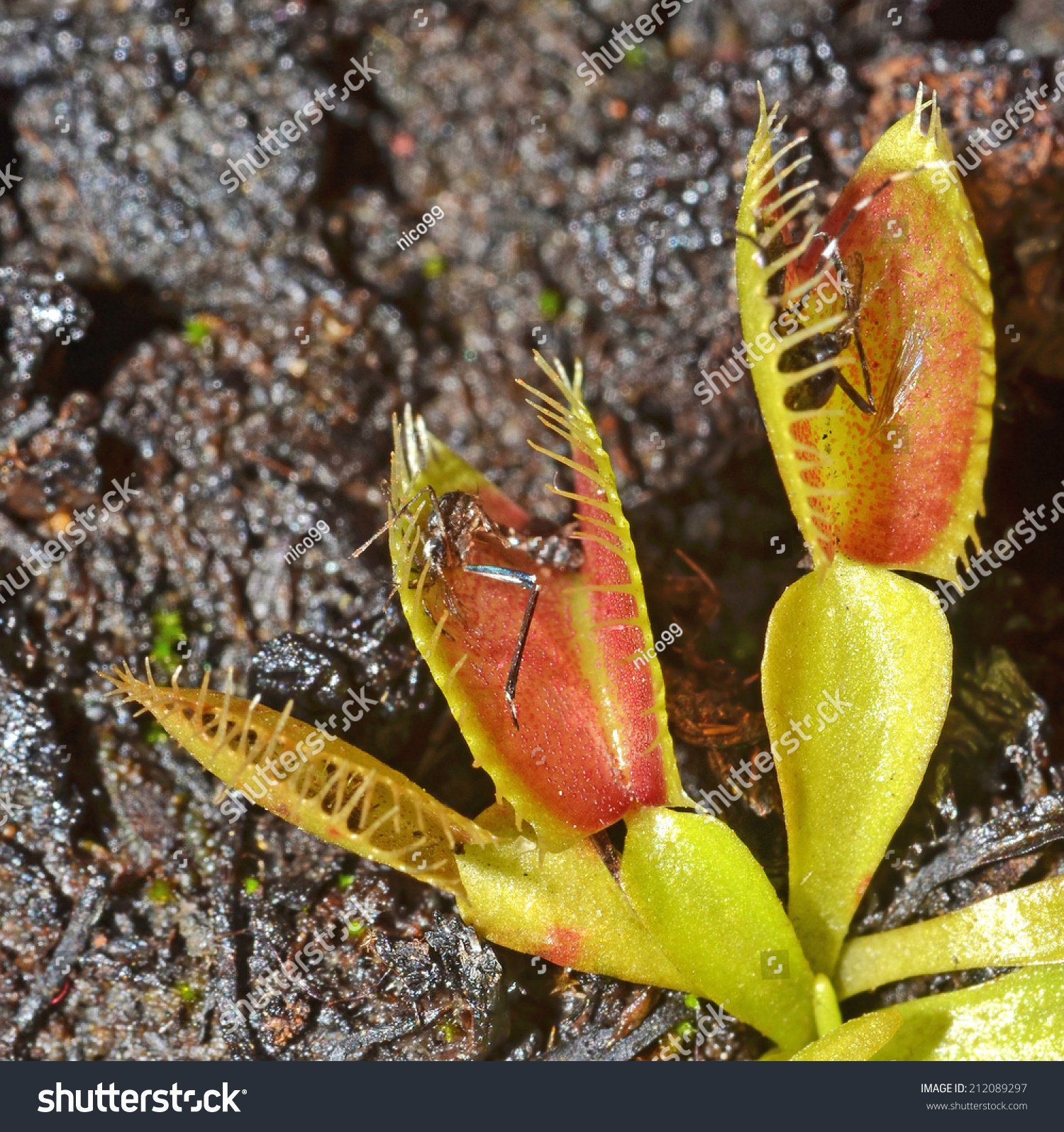 the characteristics of carnivorous plant native of venus flytrap Venus flytrap is native to the united states and very common as an ornamental plant cape sundew (drosera capensis) is a very strong african species, very easy to cultivate pitcher plants are native to the tropical rainforests.