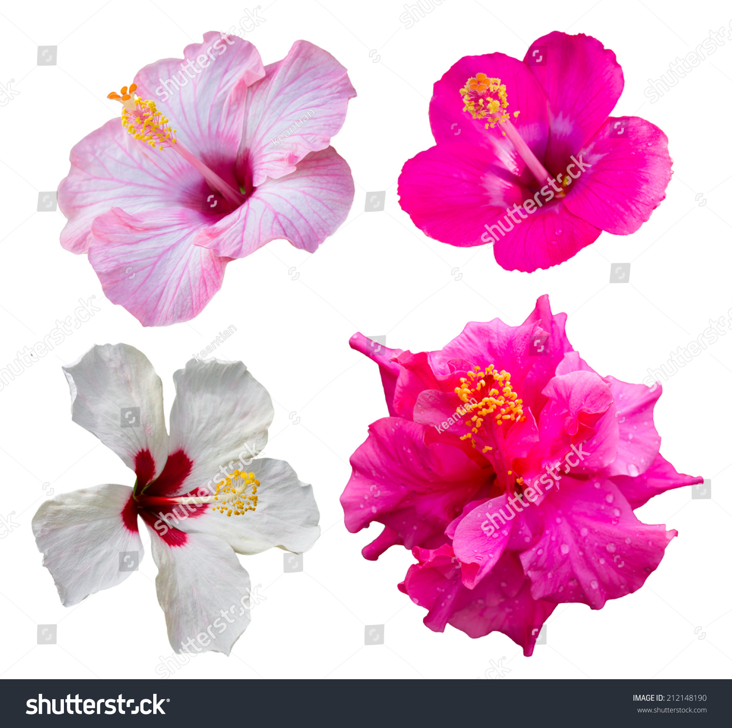Isolates four hibiscus flowers different colors stock for What makes flowers different colors
