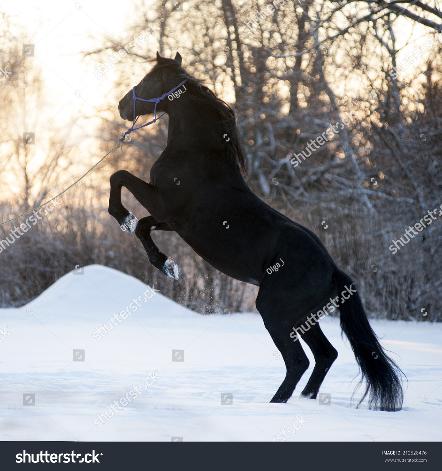 Beautiful Black Horse Rearing On Meadow Foto De Stock Editar Ahora 212528476