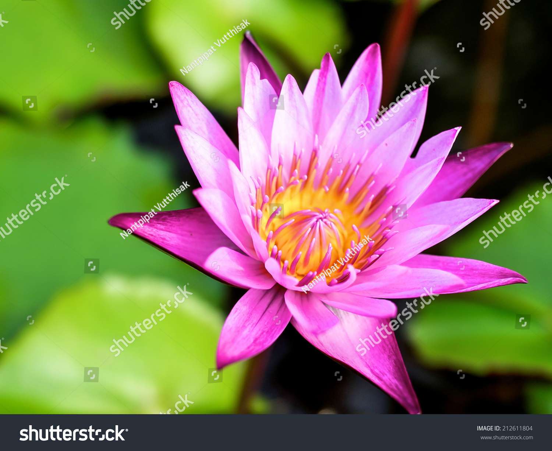 Purple lotus ez canvas izmirmasajfo