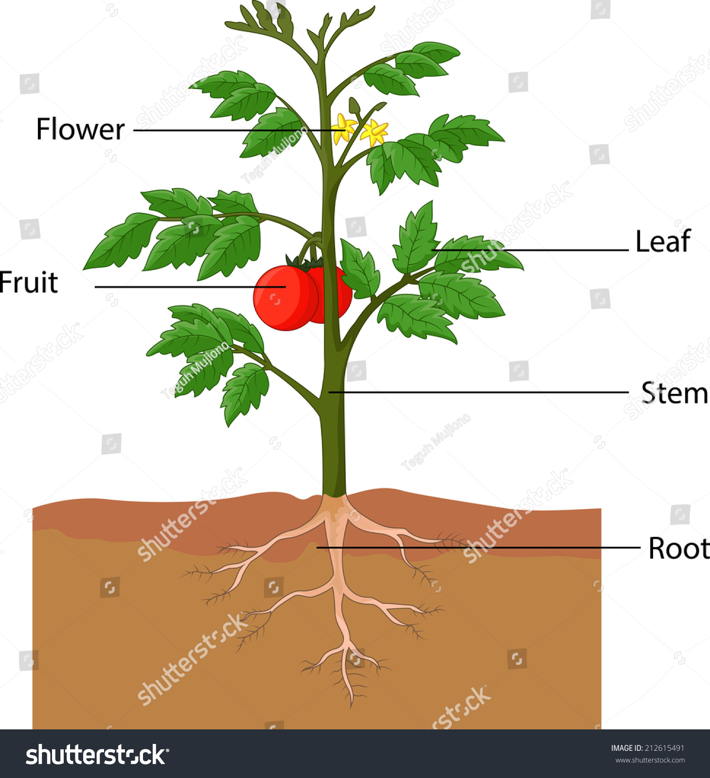 Illustration Showing Parts Tomato Plant Stock Vector 212615491