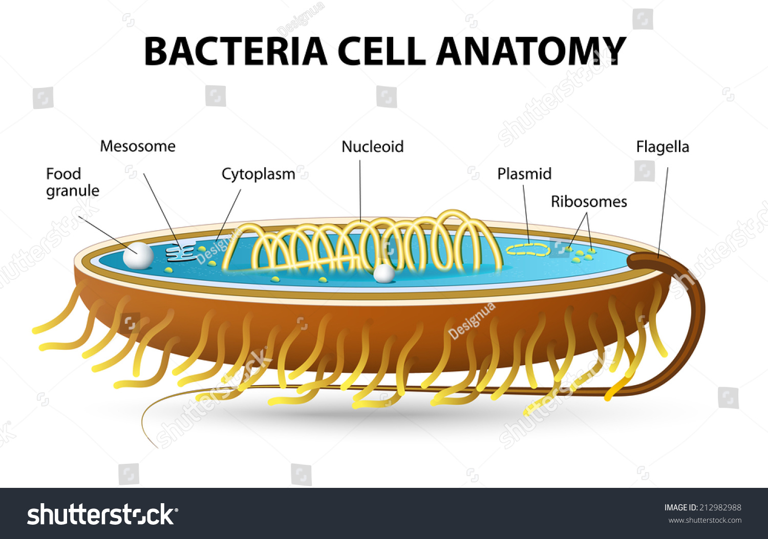 Cell structure of bacteria with diagram - Structure Of Bacterial Cell Cutaway Vector Diagram Of A Typical Bacterial Cell Illustrating Structural Components