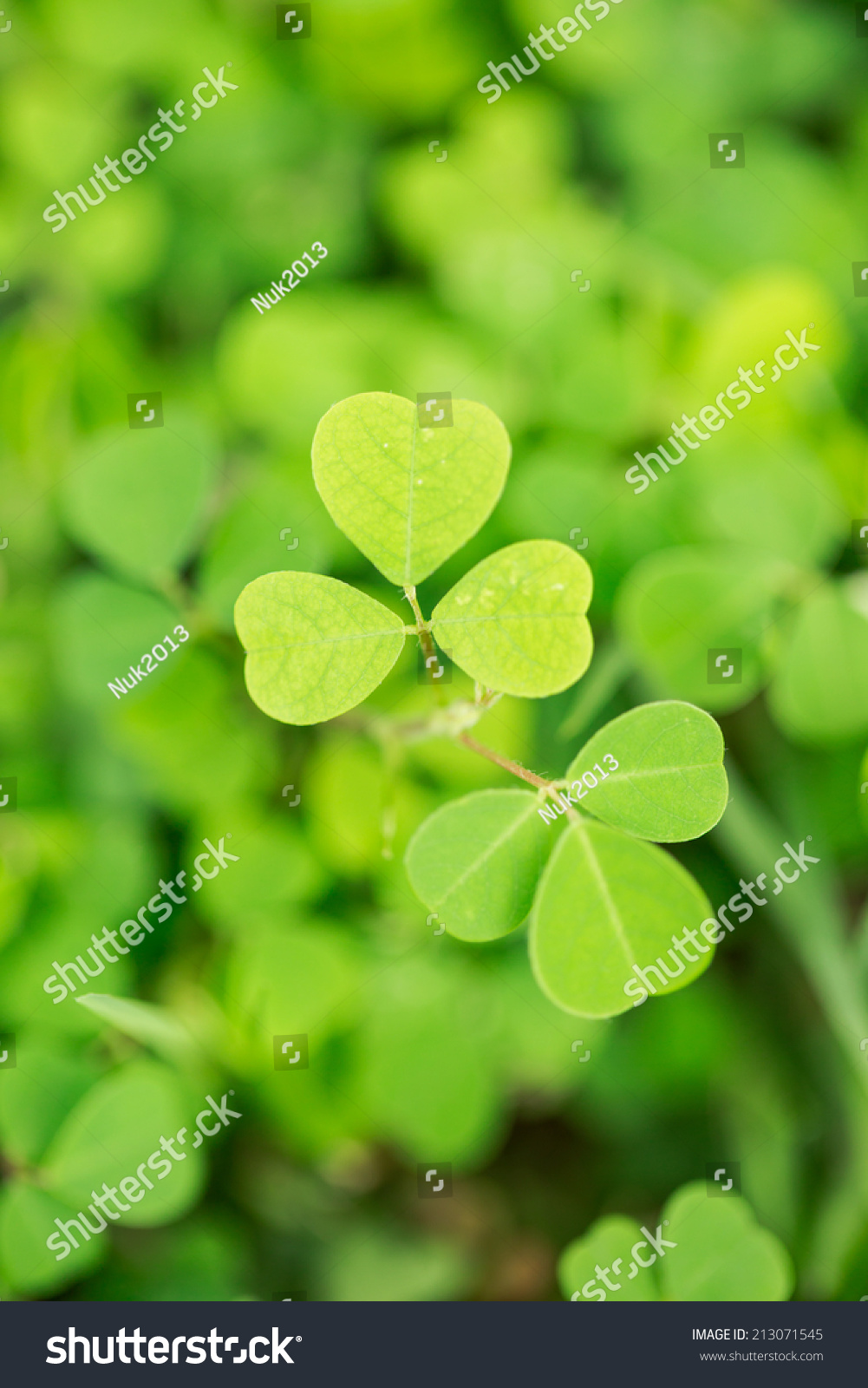 heart shape leaf small green plant stock photo 213071545 shutterstock. Black Bedroom Furniture Sets. Home Design Ideas