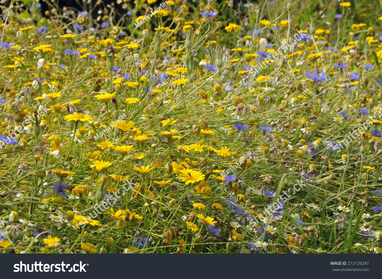 Corn Marigold Chrysanthemum Segetum Yellow Cornflower Stock Photo