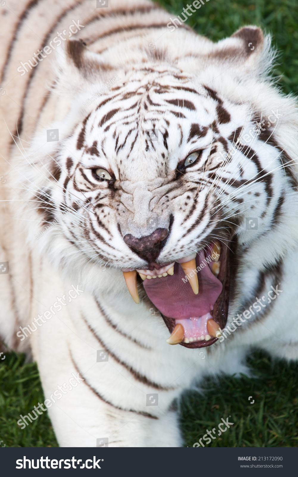 Attack Of An Angry Black Striped White Bengal Tiger With ...