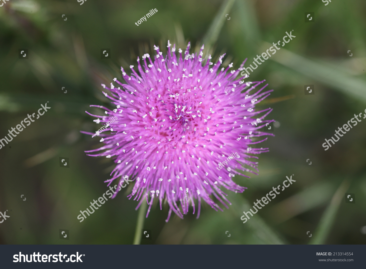 A Close Up Aerial View Of A Thistle Flower Focussing On The White