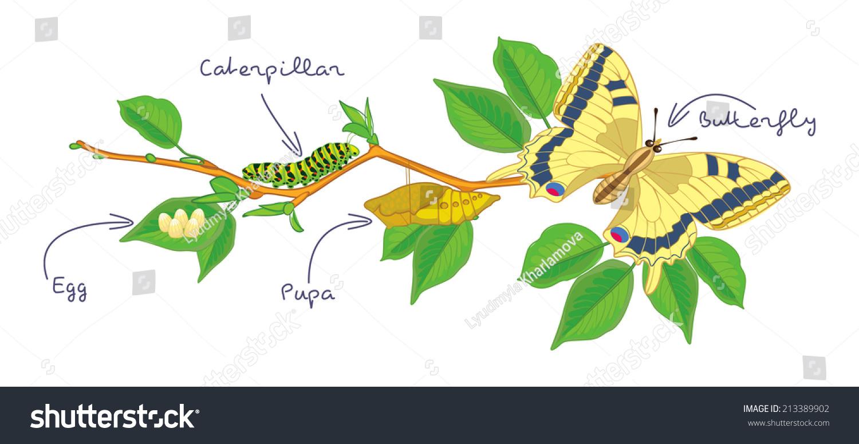 Worksheet Caterpillar Life Cycle Wosenly Free Worksheet – Metamorphosis Worksheet