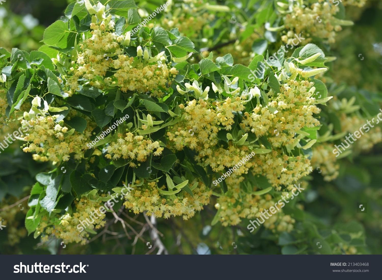 Linden Flowers Stock Shutterstock