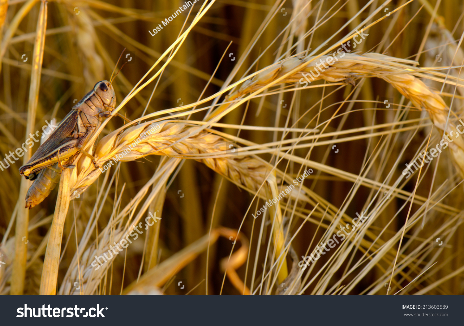A grasshopper eating a wheat crop with vintage  like processing