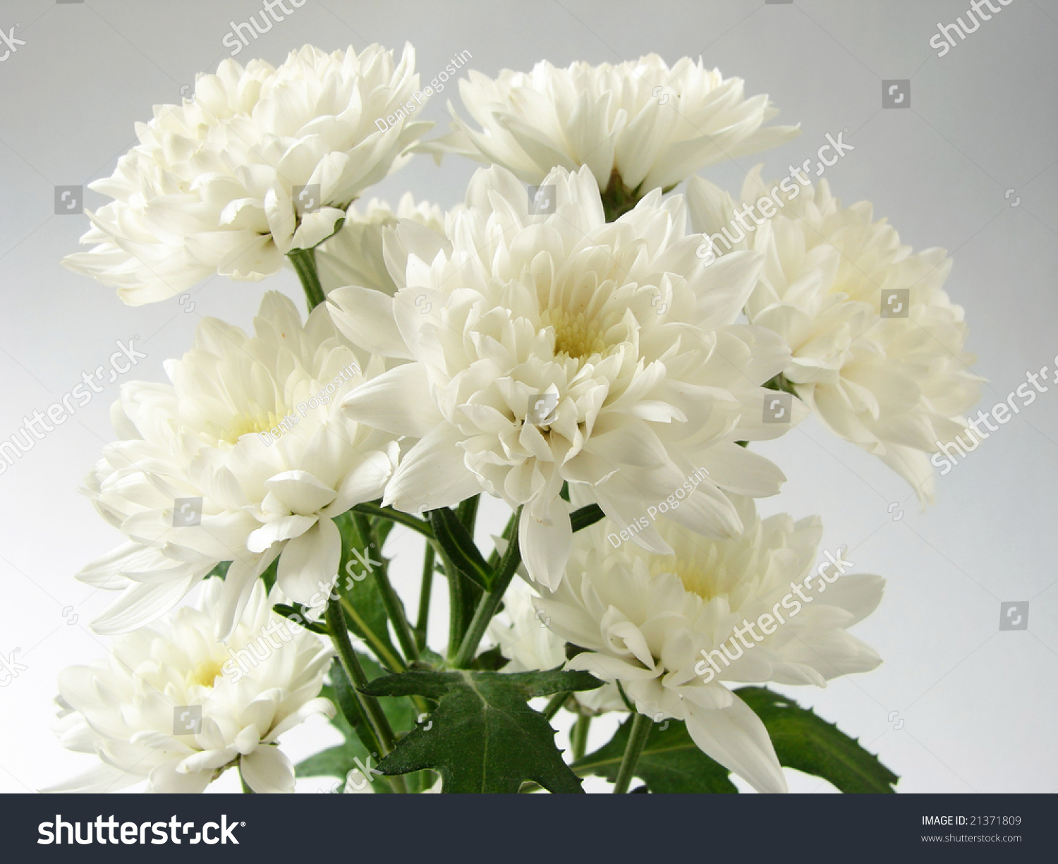 white chrysanthemums bouquet stock photo   shutterstock, Beautiful flower