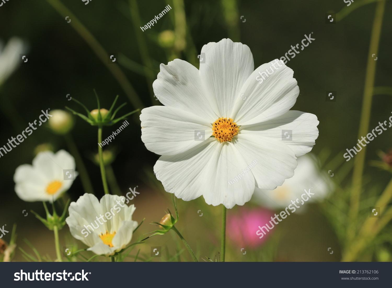 White Cosmos Flowers Ez Canvas