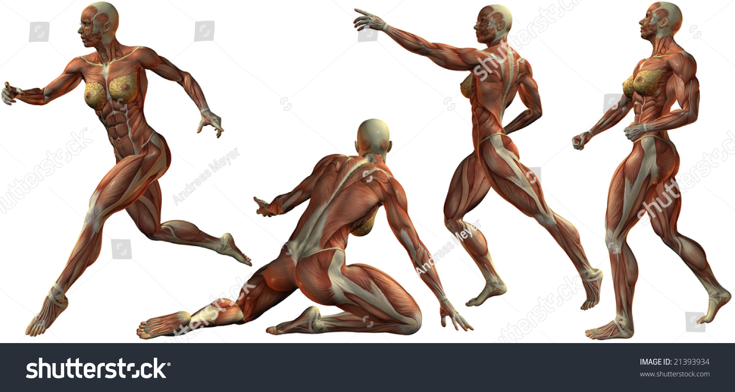Female Human Bodybuilder Anatomy Stock Illustration 21393934