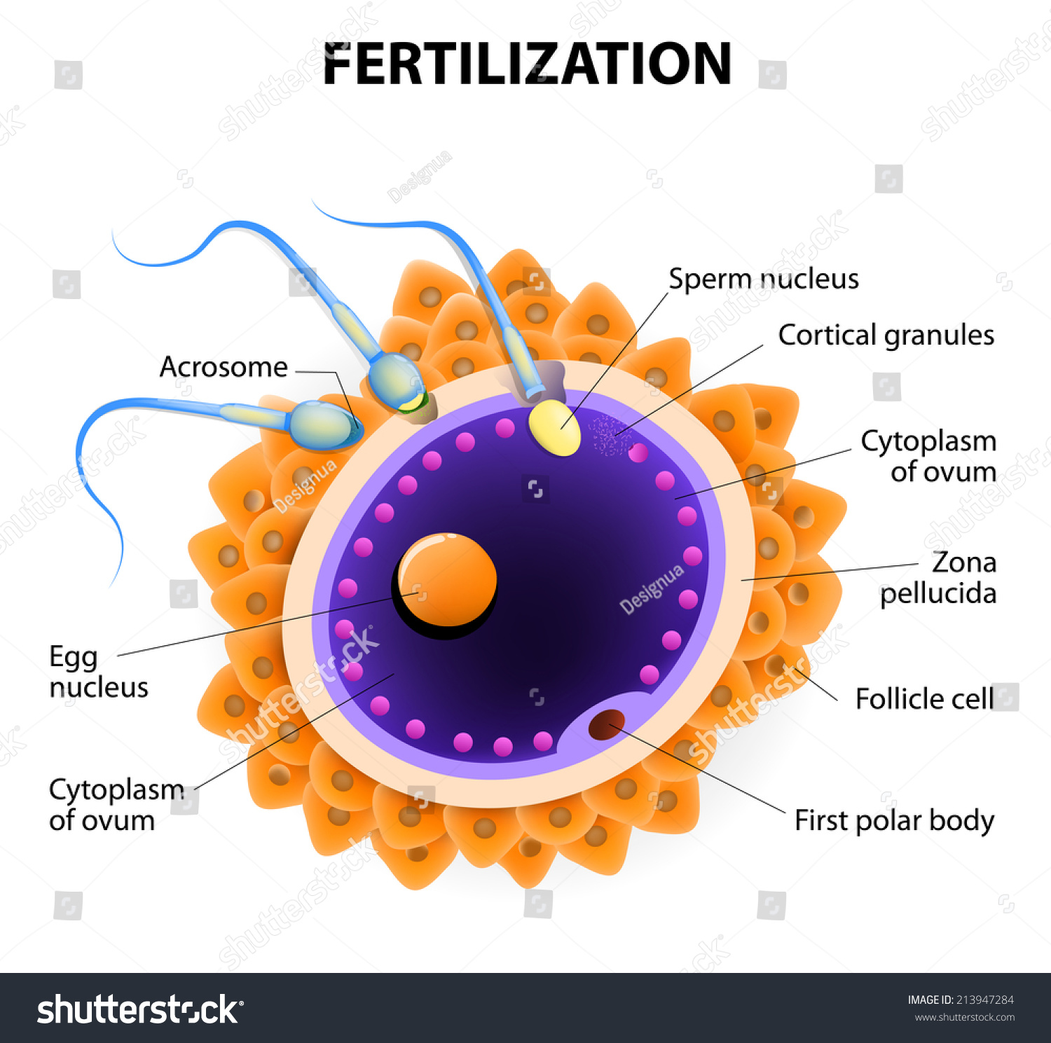 Fertilization Union Ovum Spermatozoon When Sperm Stock ...