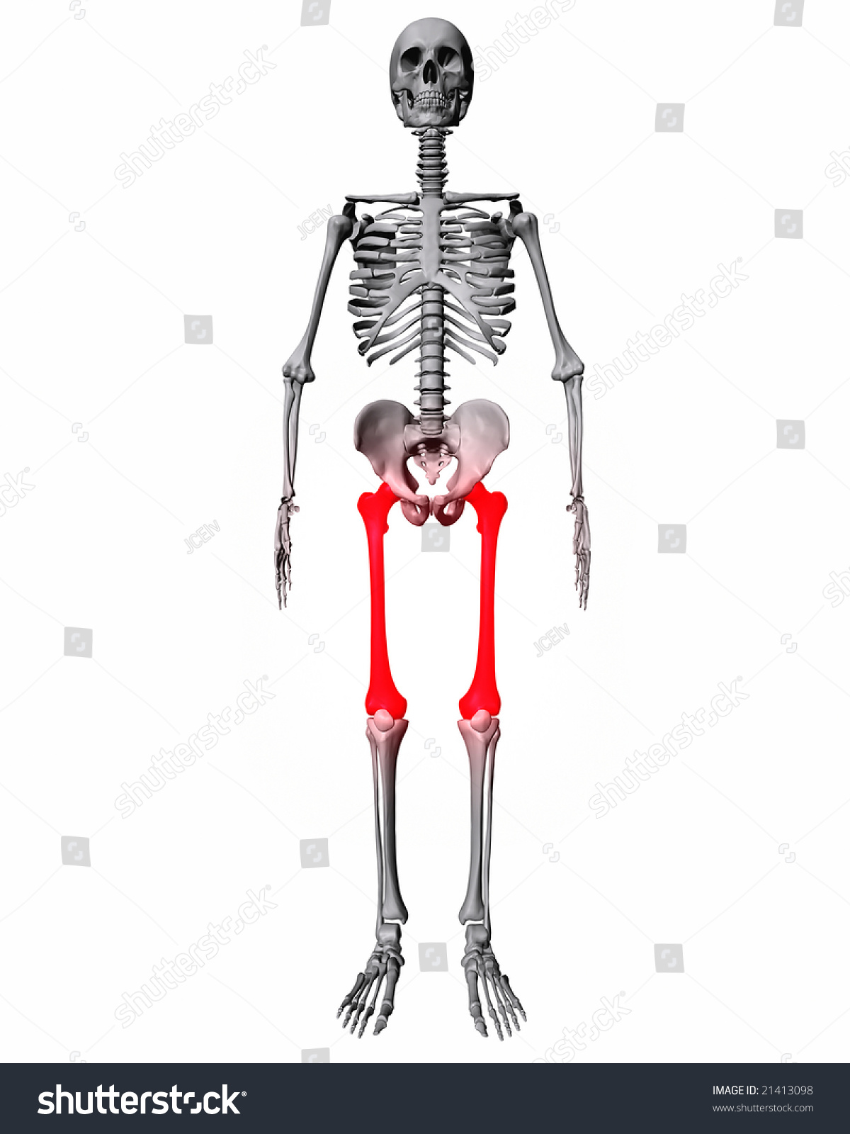 Femur Bones Highlighted Red On Skeleton Stock Illustration 21413098