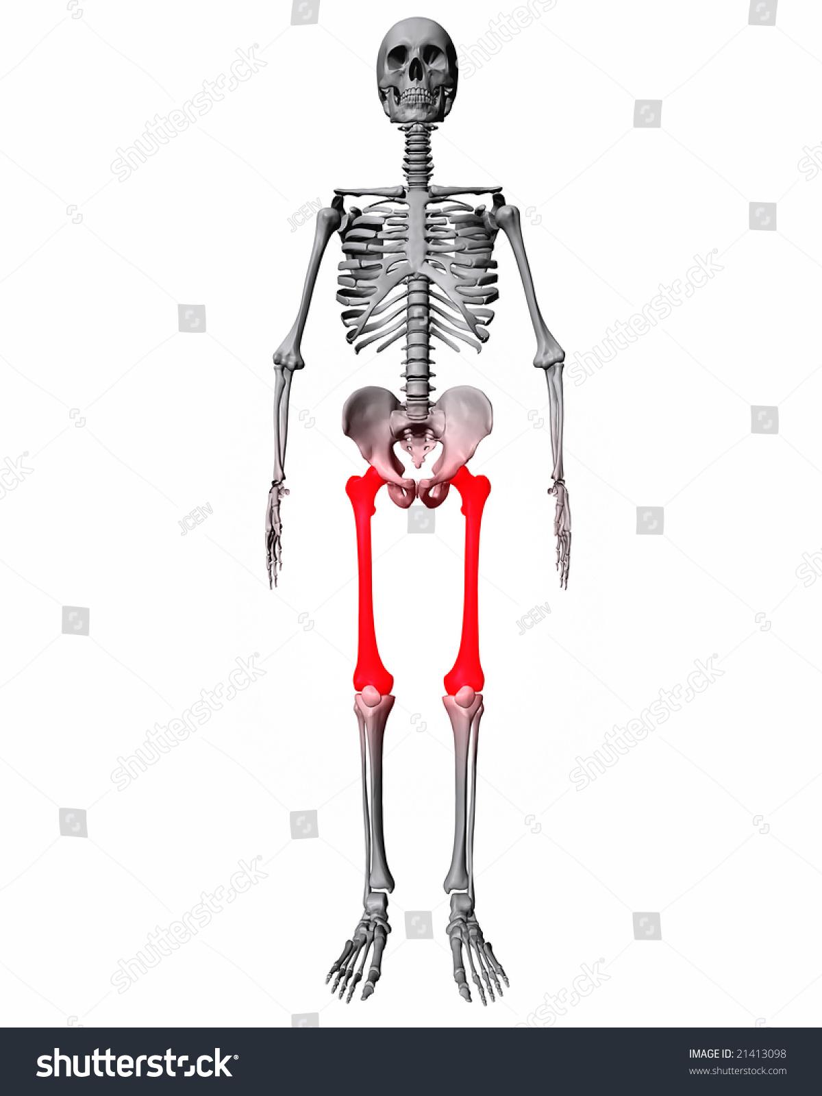 Femur Bones Highlighted Red On Skeleton Stock Illustration