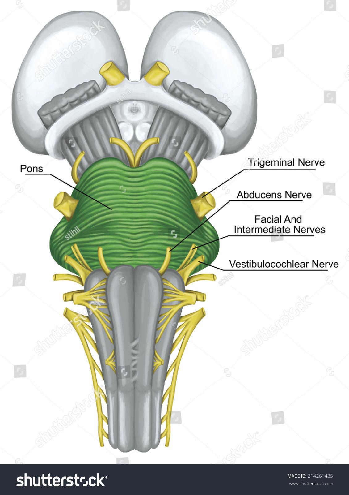 Pons Brainstem Brain Stem Ventral View Stock Illustration 214261435 ...