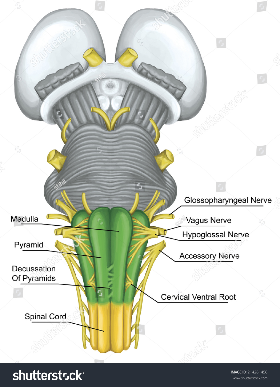 Medulla Brainstem Brain Stem Ventral View Stockillustration