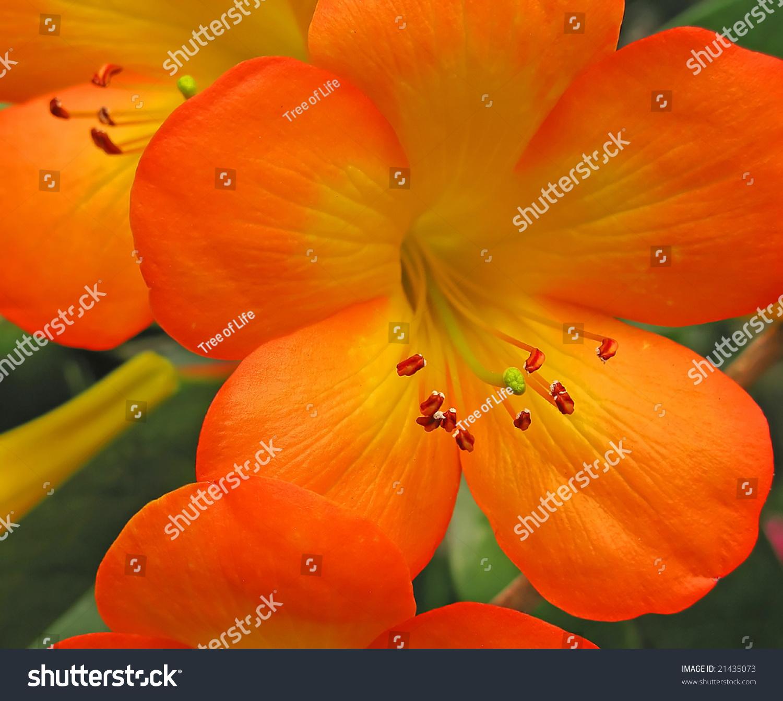 Orange Yellow Tropical Flowers Stock Photo Edit Now 21435073