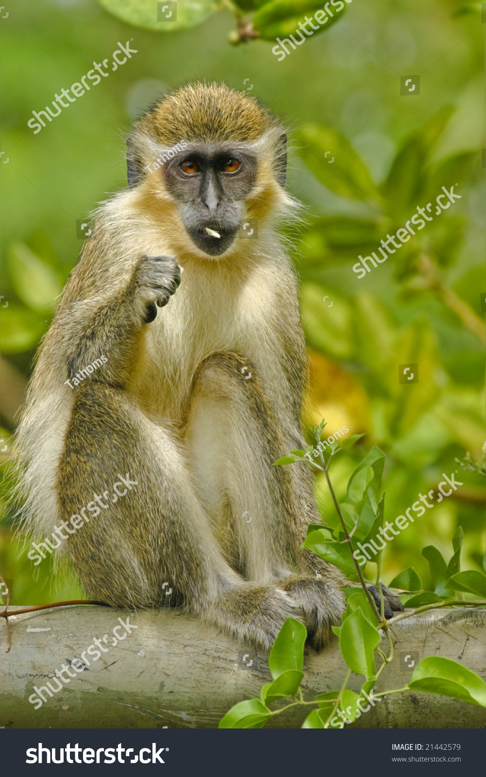 Green Monkey in the wild habitat, cercopithecus sabaeus