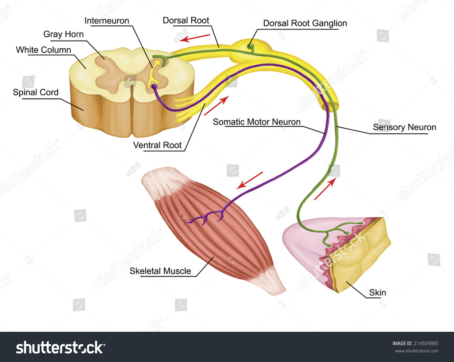 Somatic motor reflex somatic nervous system stock illustration somatic motor reflex somatic nervous system peripheral nervous system voluntary control of body ccuart Choice Image