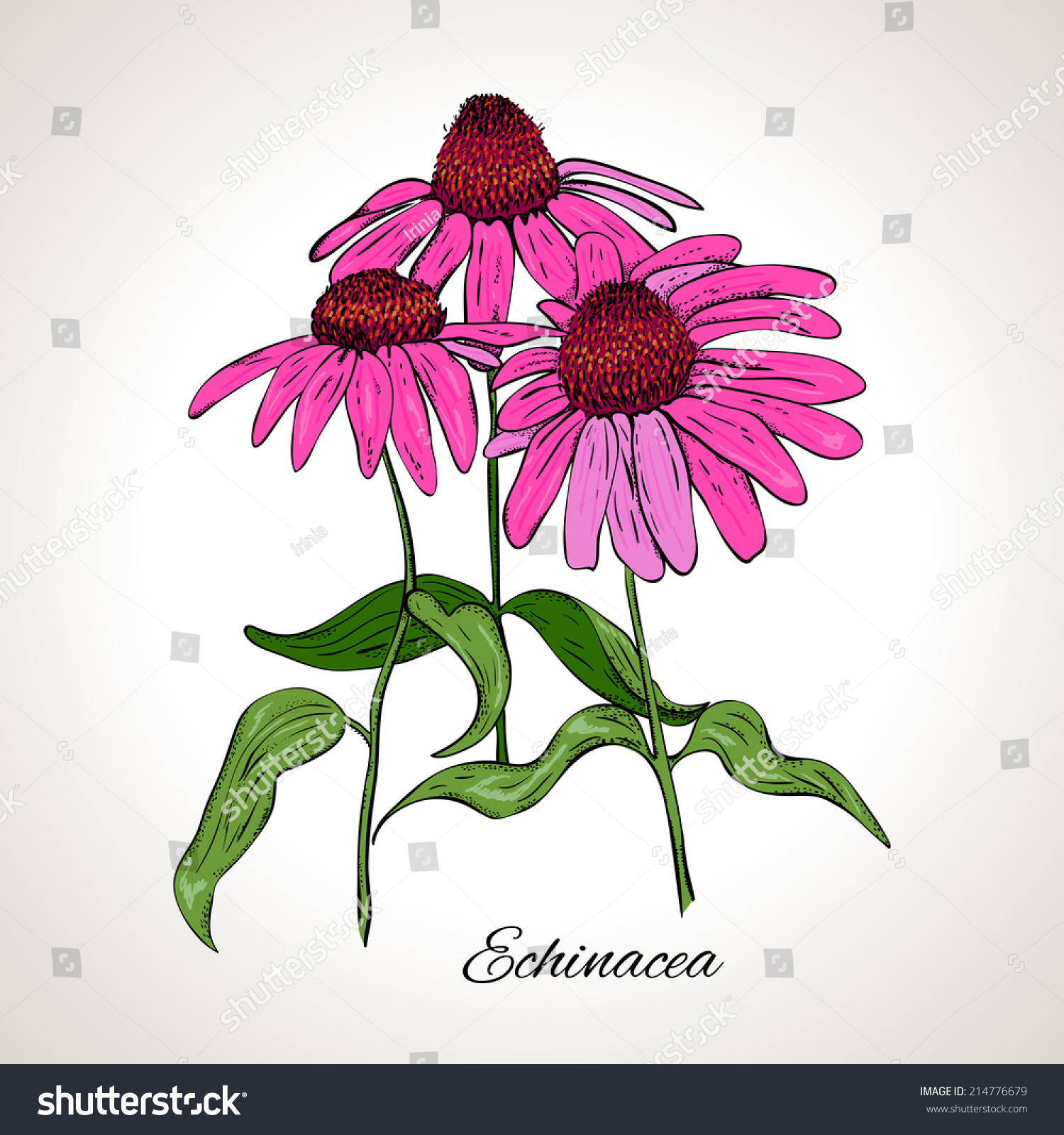 Line Drawing Coneflower : Colored drawing plant echinacea stock vector