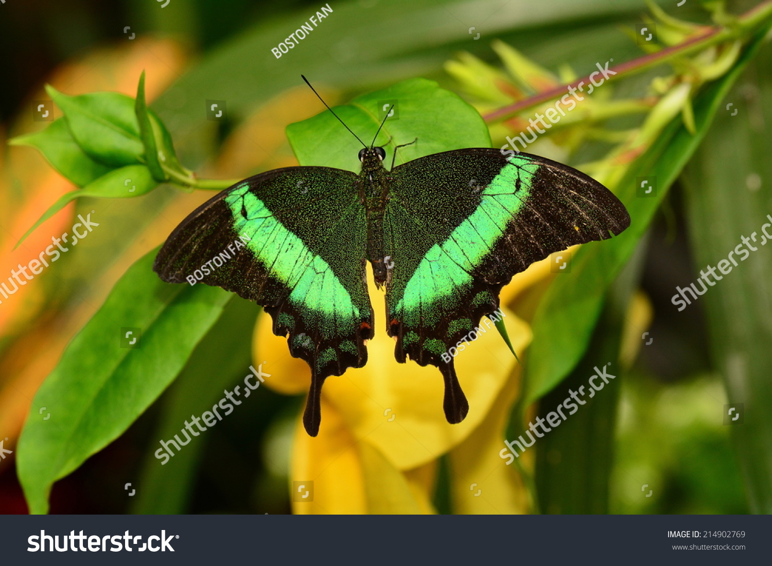 Green peacock butterfly - photo#18