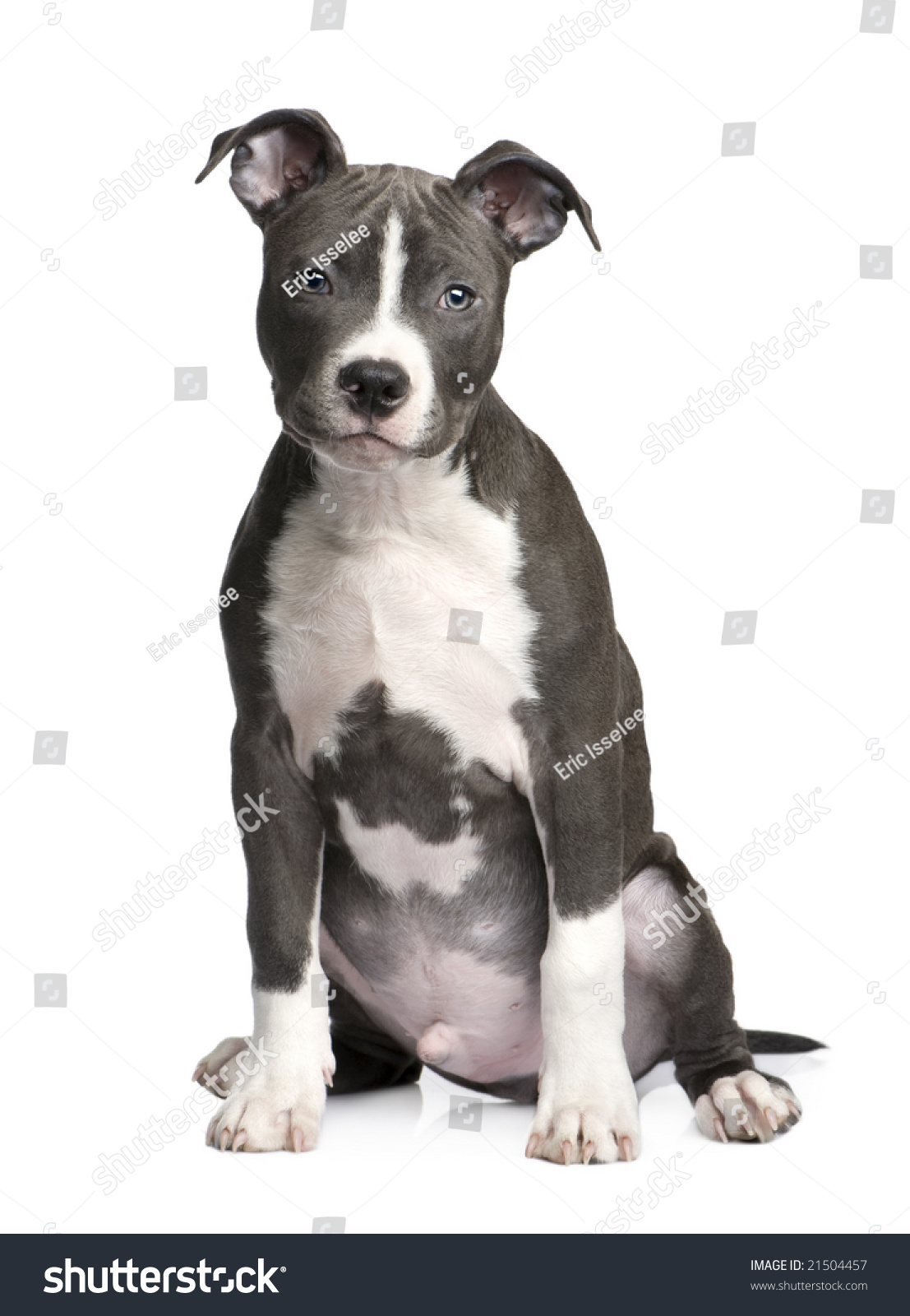 Z Force American Staffordshire Terrier American Staffordshire...
