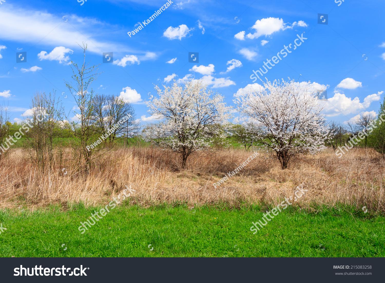 Cherry trees blooming white flowers on 215083258 shutterstock - Romanian cherry tree varieties ...