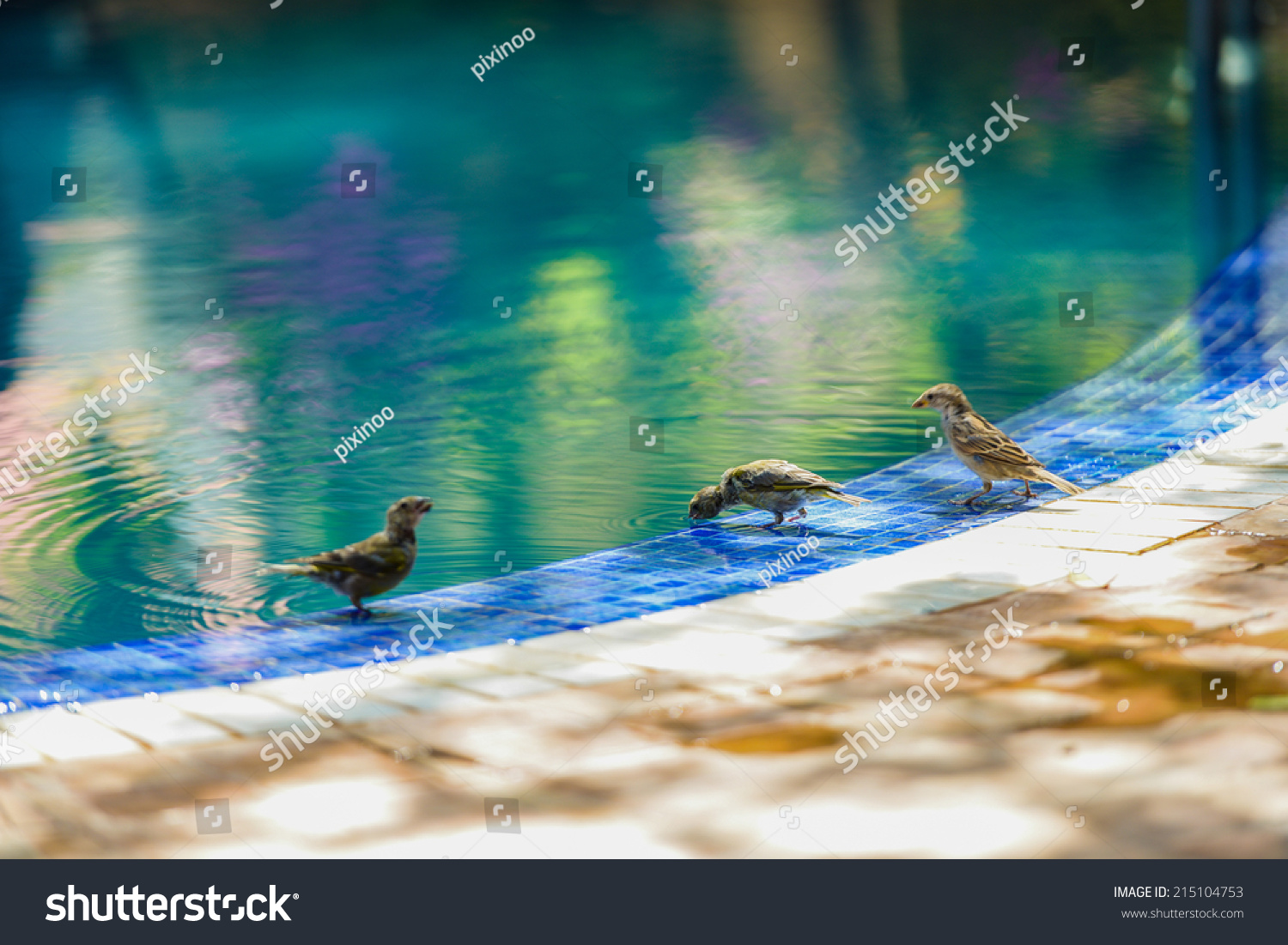 Three little sparrows near swimming pool stock photo 215104753 shutterstock How to make swimming pool water drinkable