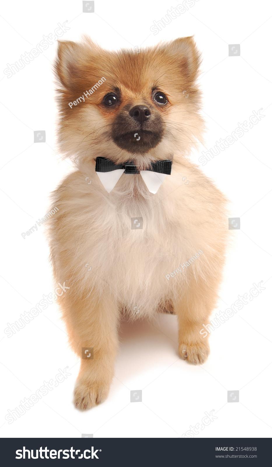 Cute Pomeranian Puppy Bowtie Stock Shutterstock