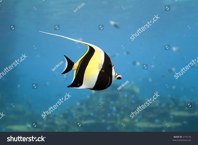 Moorish idol zanclus cornutus type fish stock photo for What kind of fish is nemo