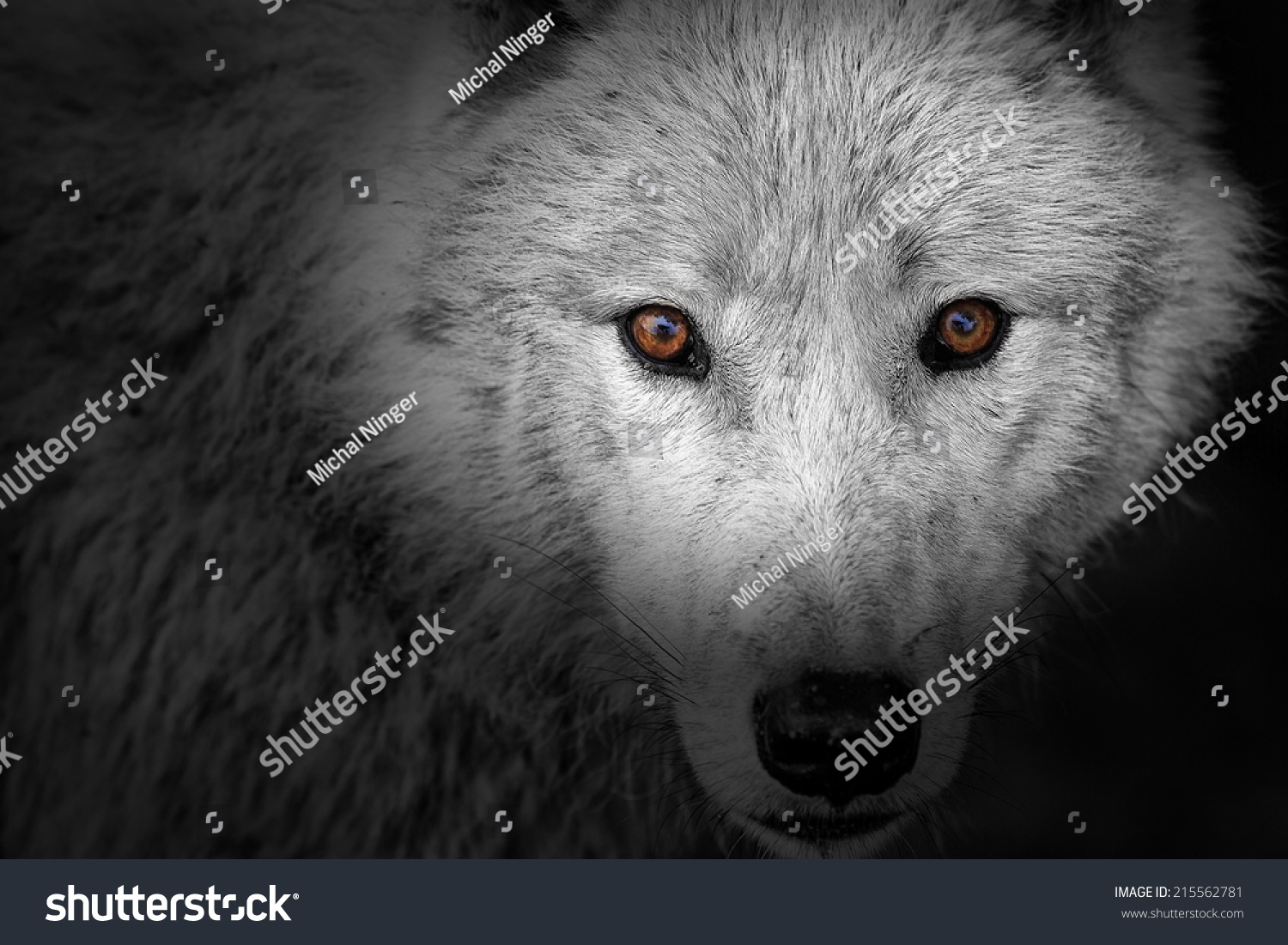 wolf eyes in black and white detail