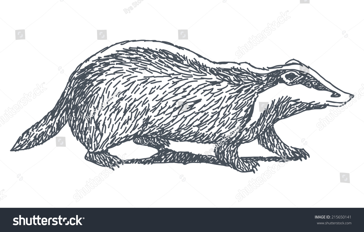 Uncategorized Badger Drawing badger sketch drawing isolated on white stock vector 215650141 background