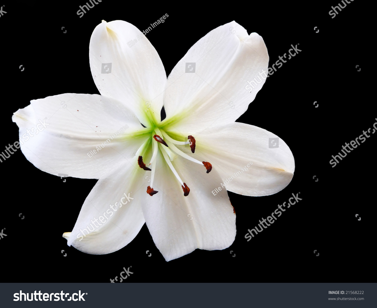 Flower single white easter lily on stock photo royalty free flower a single white easter lily on a black background mightylinksfo