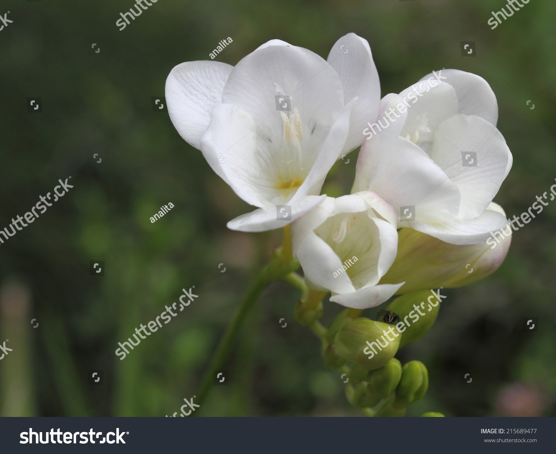 Beautiful Fresh White Flowers Soft Flower Stock Photo Edit Now